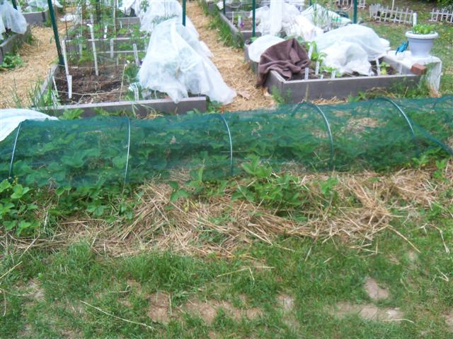 I covered my strawberries with netting. 06-11-11