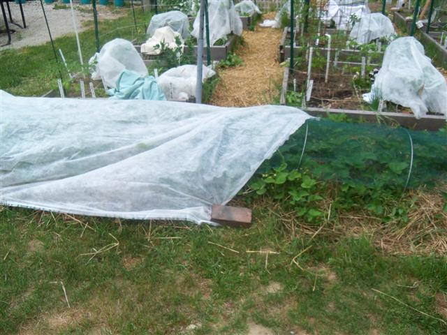 I covered my strawberries with netting. 06-11-12