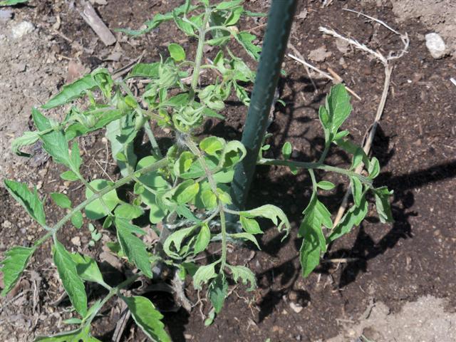 Tomato Leaf Curling 06-15-11