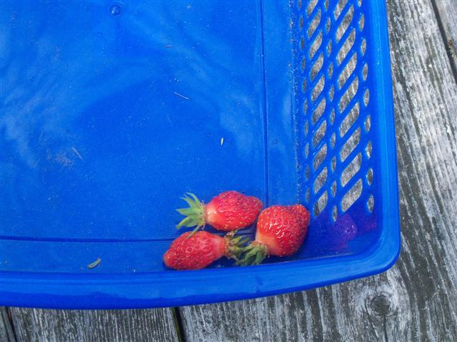 In Maine, my first strawberries harvest. 06-17-11