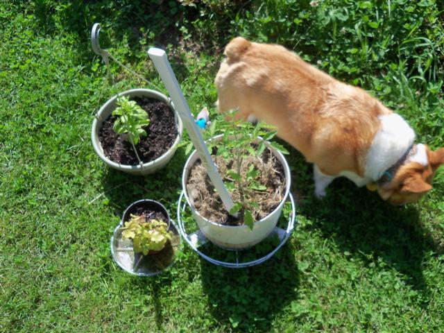 Need help please!  Best way to plant indeterminate tomatos? 06-19-12