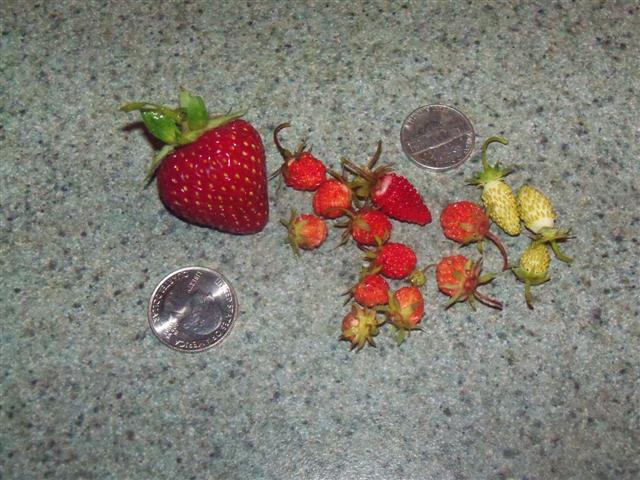 Alpine strawberries are different. 06-22-10