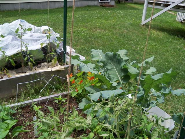 Tomato trellis for indeterminate tomato 06-25-10