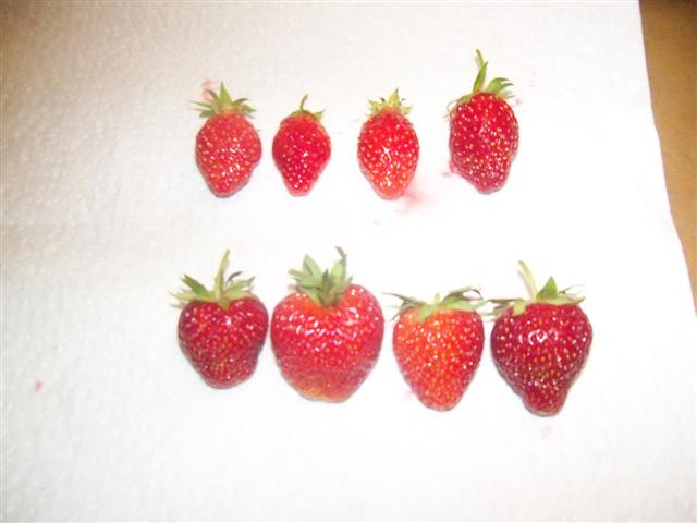 My strawberry taste test! 06-26-11