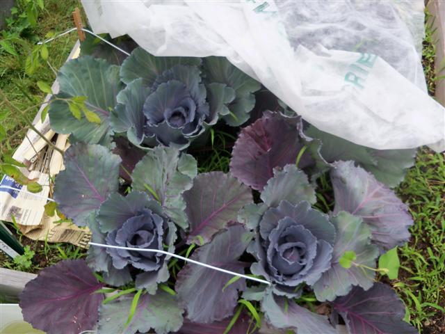 Eggplants? 06-28-10