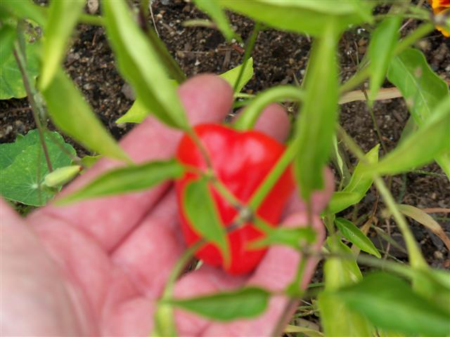 Mini Bell Peppers.. 09-19-12