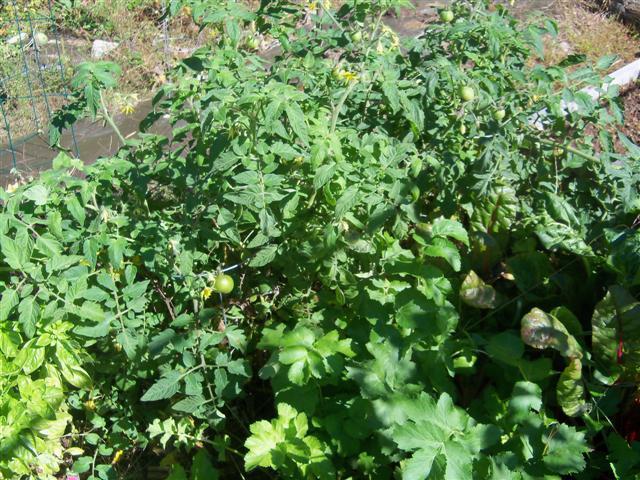 determinate tomatoes 10-02-13