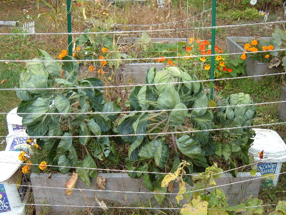 Brussel Sprouts grow well in SFG system??? 10-09-10