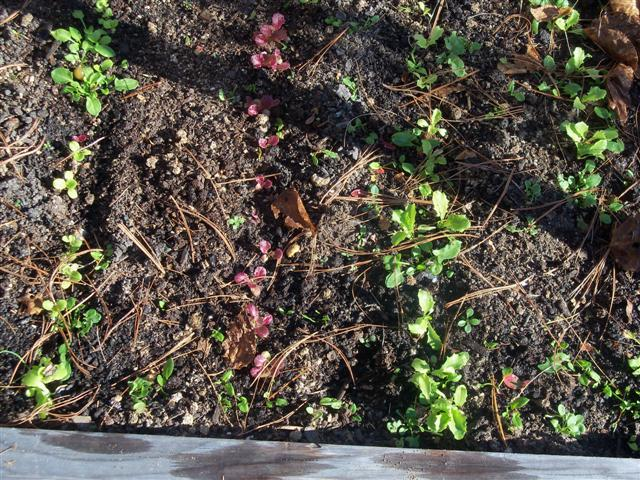 Planting Lettuce Seeds 11-11-10