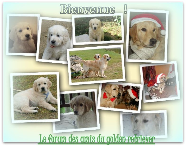 Forum  : Le golden Retriever