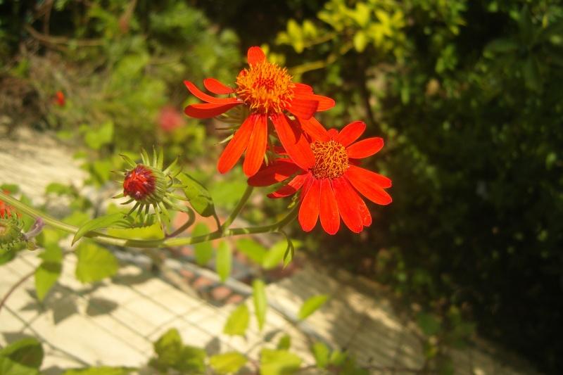 quelques floraisons de fin d'été Snv81913