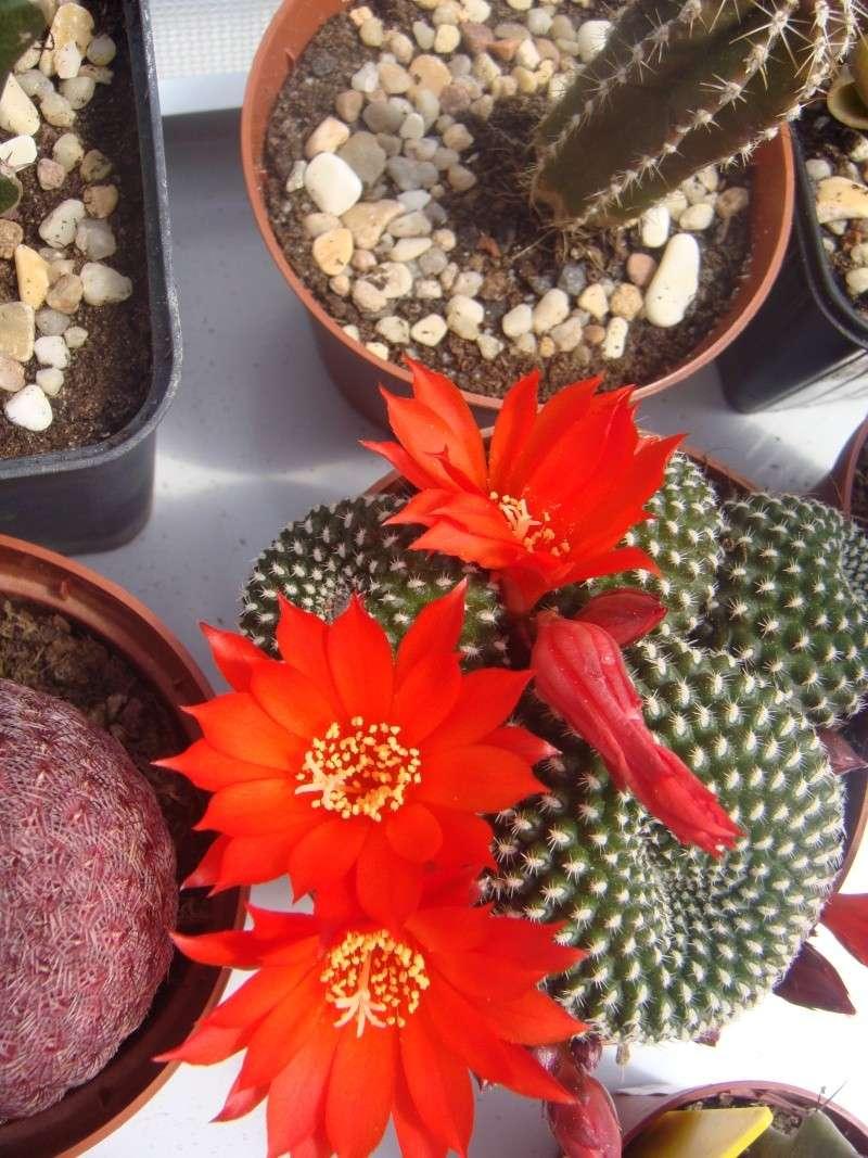 Première fleur pour 2011 :D MAJ 16/06/2011 Dsc00522