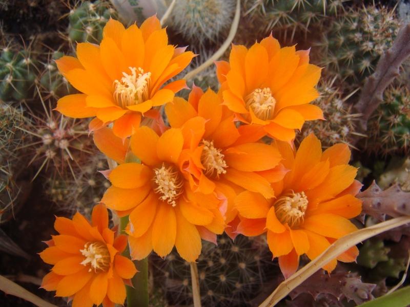 Première fleur pour 2011 :D MAJ 16/06/2011 Dsc00631