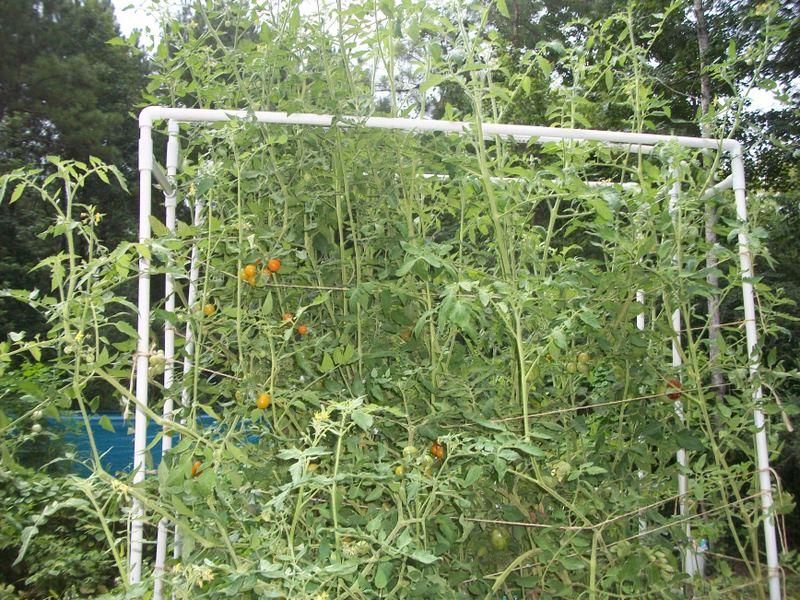 Tomato trellis for indeterminate tomato 100_1210