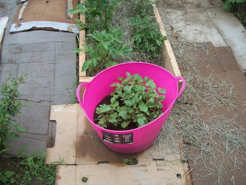 Question about growing potatoes in buckets. 100_1914