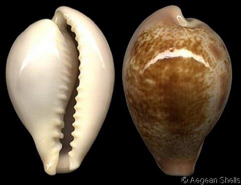 Erronea subviridis subviridis - (Reeve, 1835)  Cyprae10