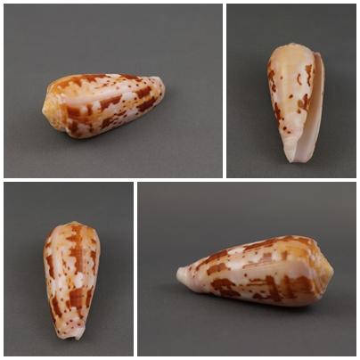 Conus (Pionoconus) floccatus   GB Sowerby I, 1841 Floc910
