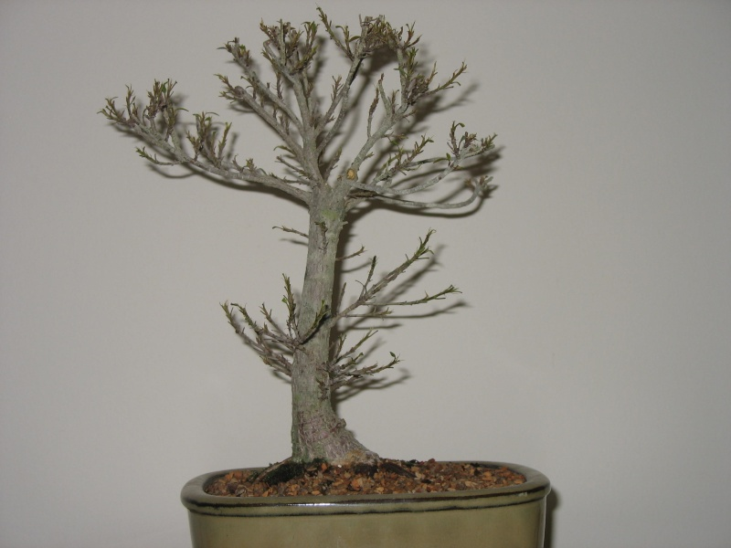 A vist to Wigert's Bonsai and a new Ficus Salicaria... Pictur10