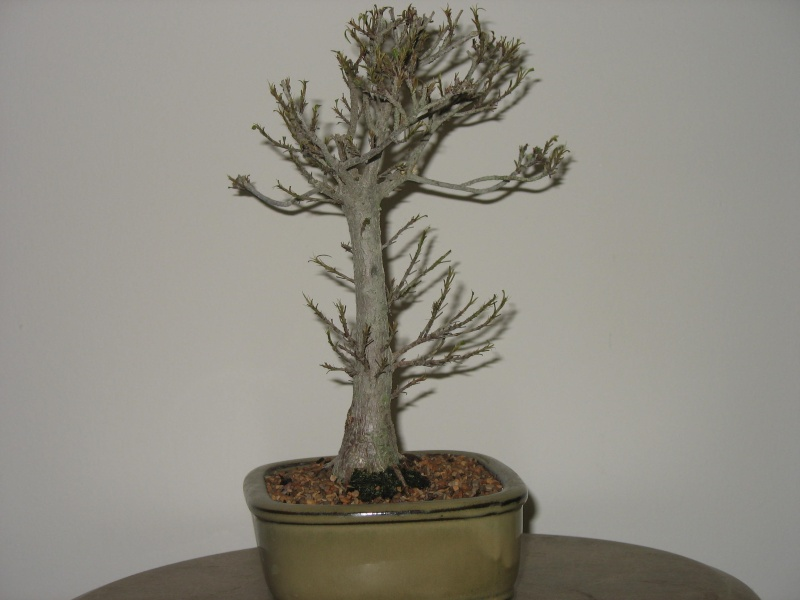 A vist to Wigert's Bonsai and a new Ficus Salicaria... Pictur11