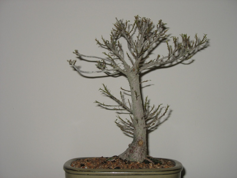 A vist to Wigert's Bonsai and a new Ficus Salicaria... Pictur12