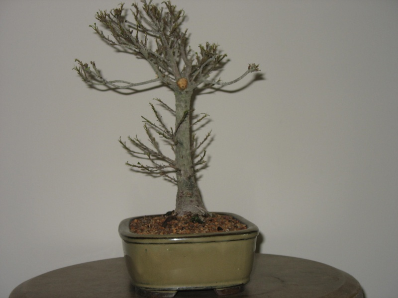A vist to Wigert's Bonsai and a new Ficus Salicaria... Pictur13