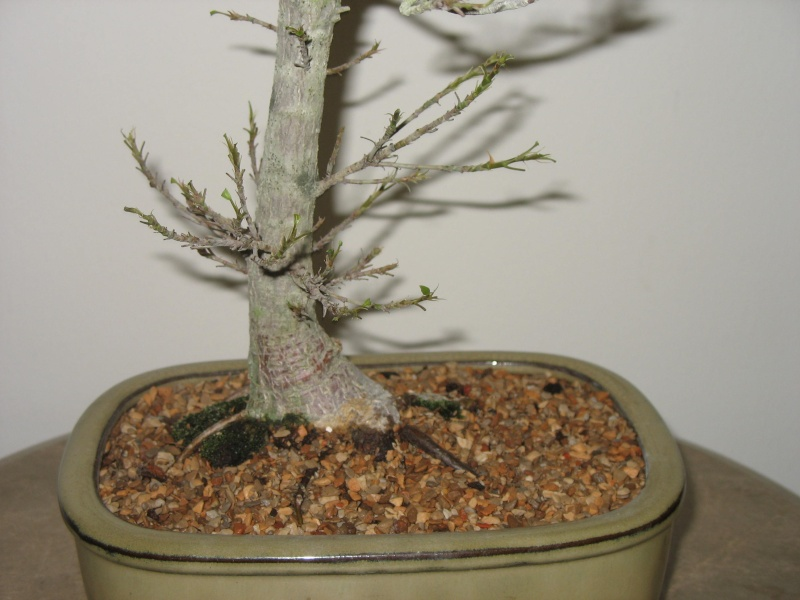 A vist to Wigert's Bonsai and a new Ficus Salicaria... Pictur14