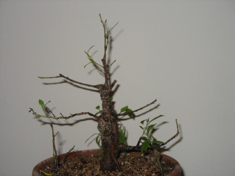 Ficus microcarpa questions... Pictur17