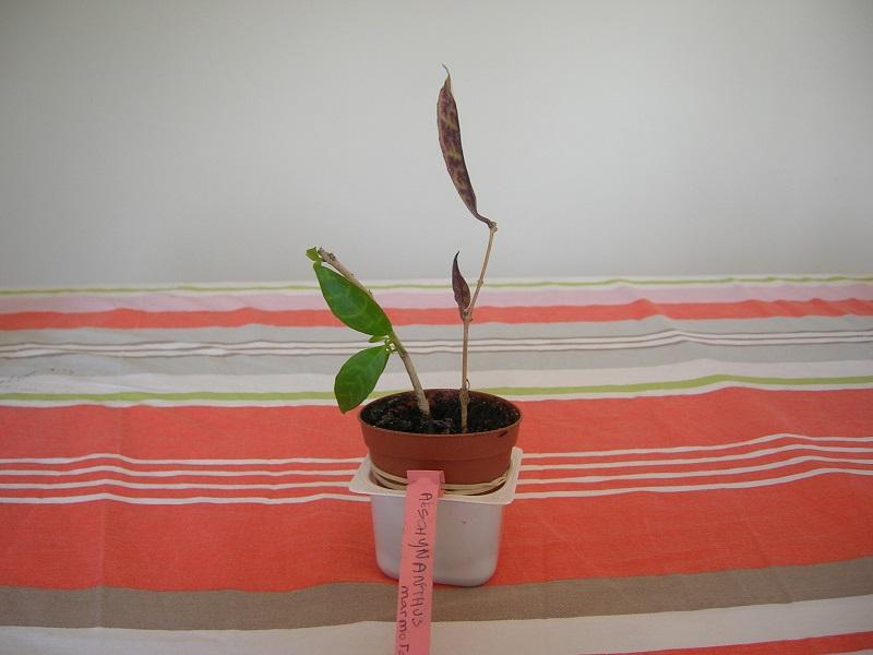 Aeschynanthus marmoratus Aeschy10