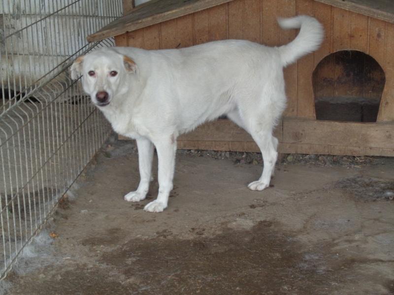 TILGA - x labrador blanc 8 ans   (4 ans de refuge) - Asso Arche d'Eternité - Lenuta (Roumanie)  07910