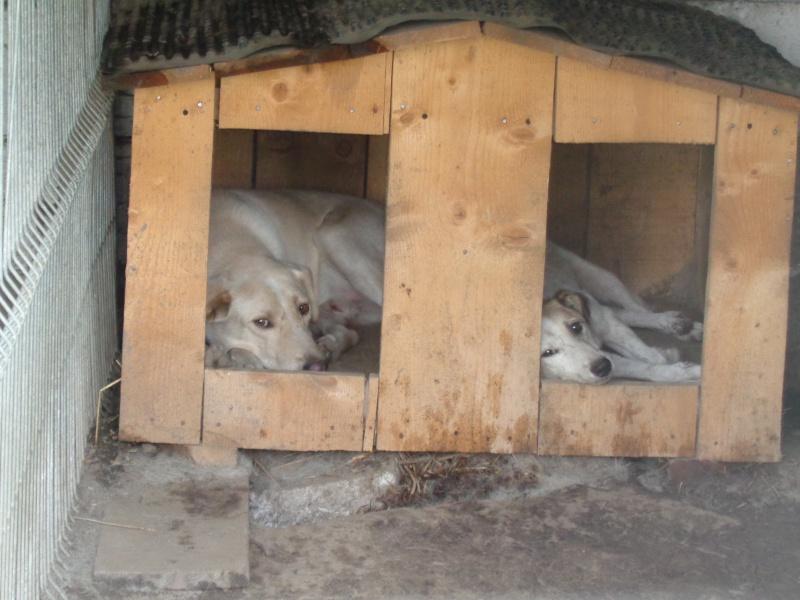 BOX (trois) , croisé labrador, né en 2007 -  Parrainée par Samie -R-F-SOS-SC- - Page 2 10710