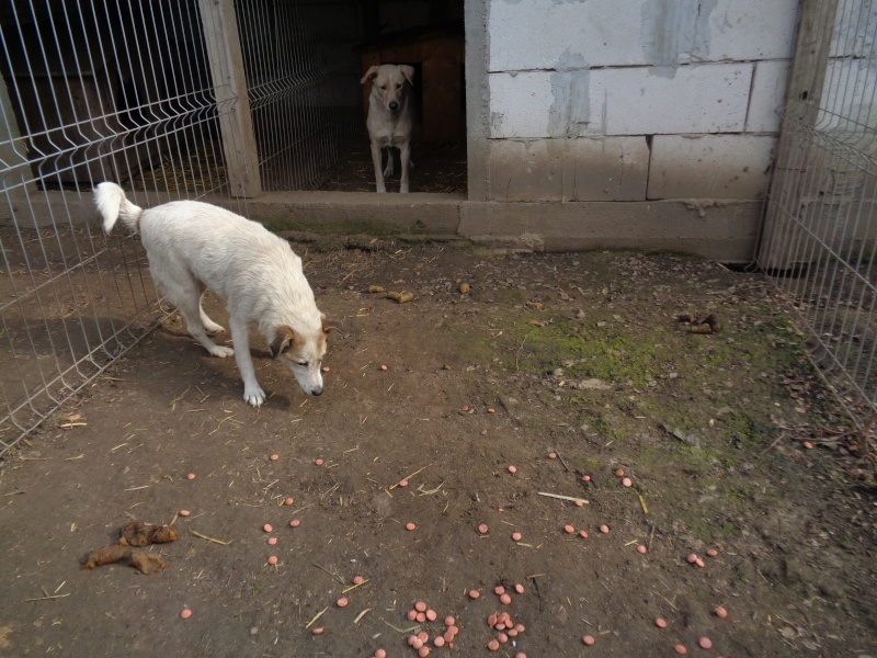 BOX (trois) , croisé labrador, né en 2007 -  Parrainée par Samie -R-F-SOS-SC- - Page 2 Pictu160