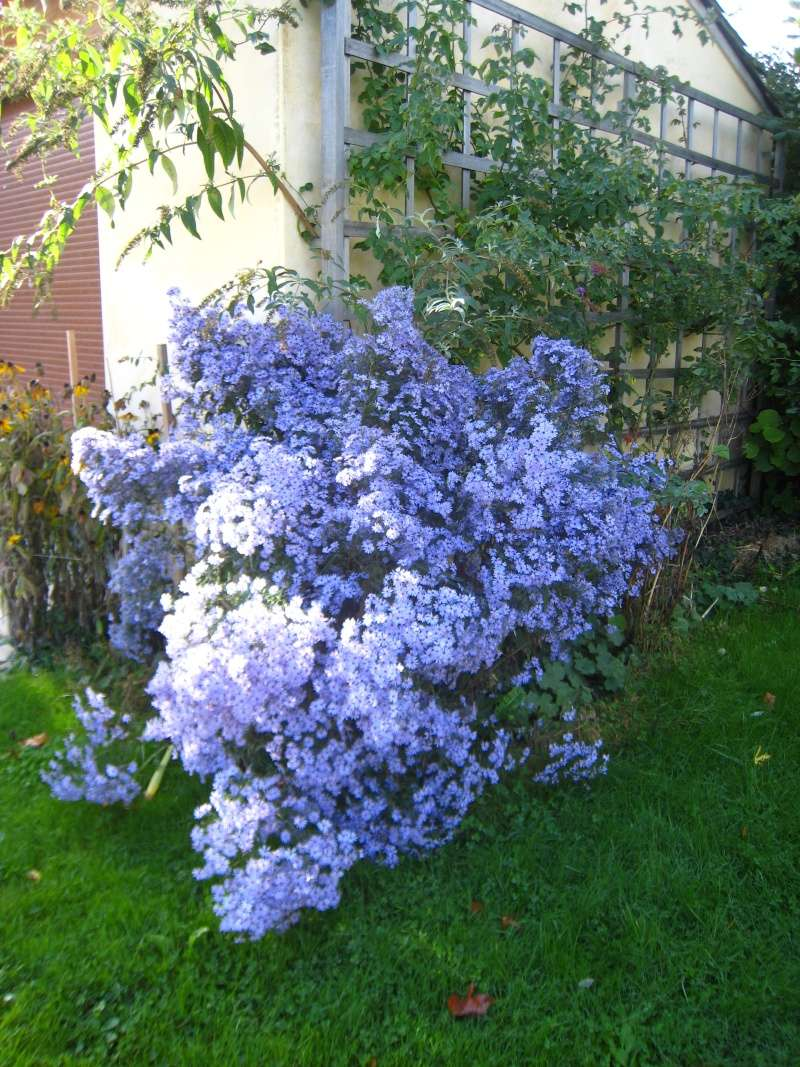 Aster d'automne  - Page 18 Img_3010