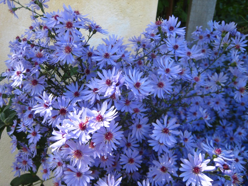 Aster d'automne  - Page 18 Img_3011