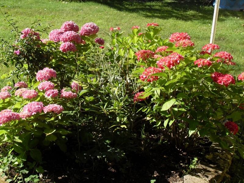 Hydrangea   Hortensia des jardins - Page 3 Sdc12015