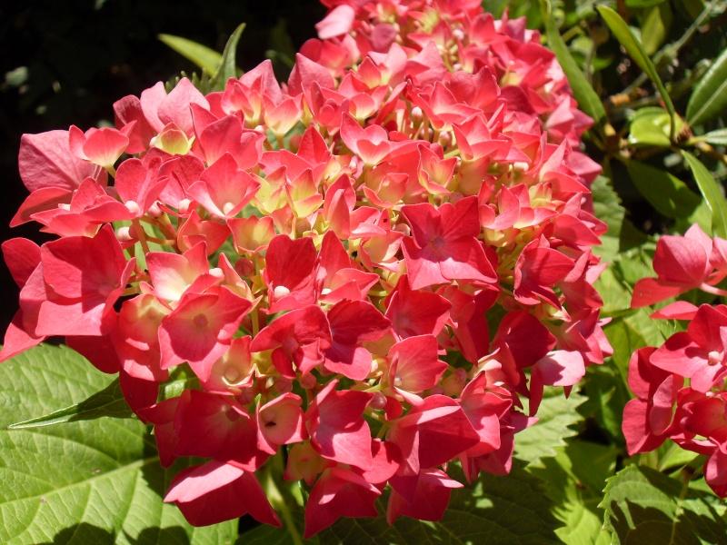 Hydrangea   Hortensia des jardins - Page 3 Sdc12016