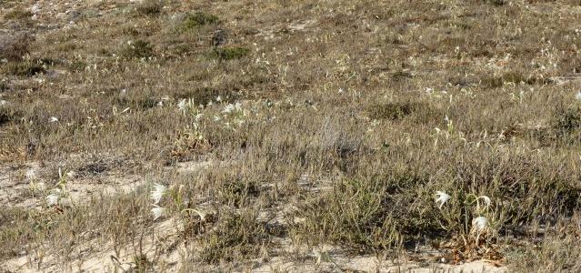 flore du littoral : plages, dunes, vases et rochers maritimes - Page 4 05-09-12