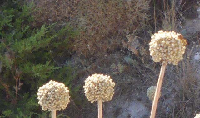 Allium commutatum et Astragalus massiliensis - [identifications] 05-09-16