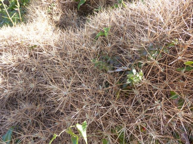 Allium commutatum et Astragalus massiliensis - [identifications] 05-09-17