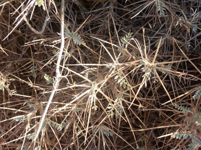 Allium commutatum et Astragalus massiliensis - [identifications] 05-09-18