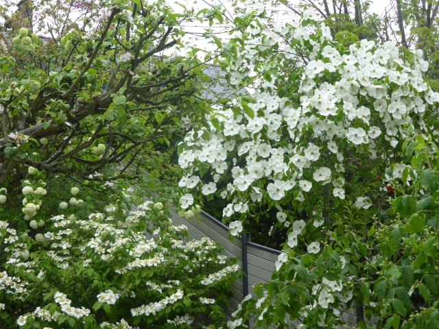 Cornus 'Eddie's White Wonder' 26-04-10