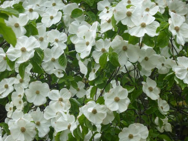 Cornus 'Eddie's White Wonder' 26-04-11