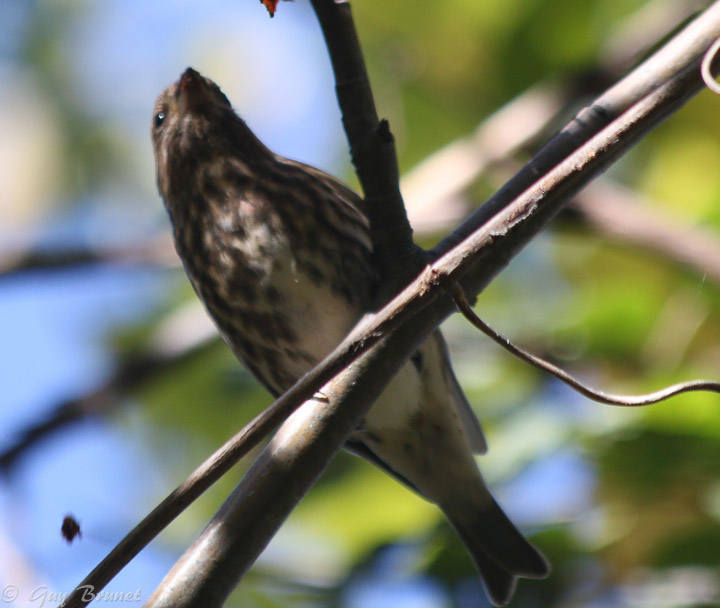 Aide pour un même oiseau (quelques photos à Montréal) Img_9411