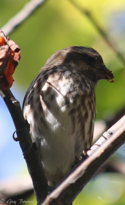 Aide pour un même oiseau (quelques photos à Montréal) Img_9412