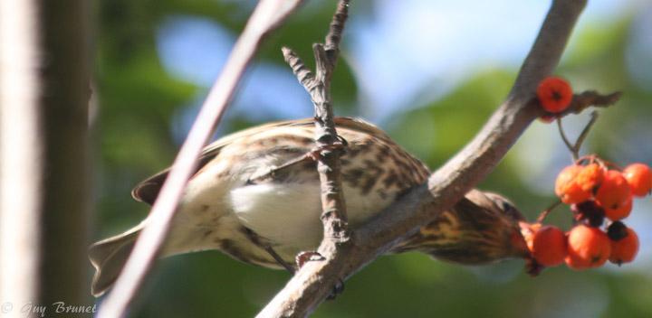 Aide pour un même oiseau (quelques photos à Montréal) Img_9510