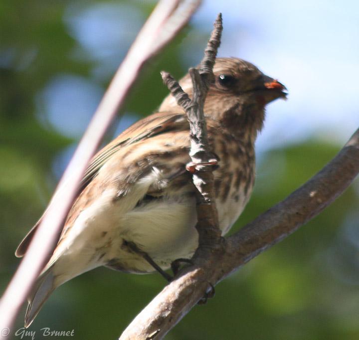 Aide pour un même oiseau (quelques photos à Montréal) Img_9511
