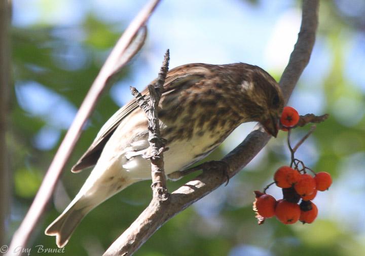 Aide pour un même oiseau (quelques photos à Montréal) Img_9512