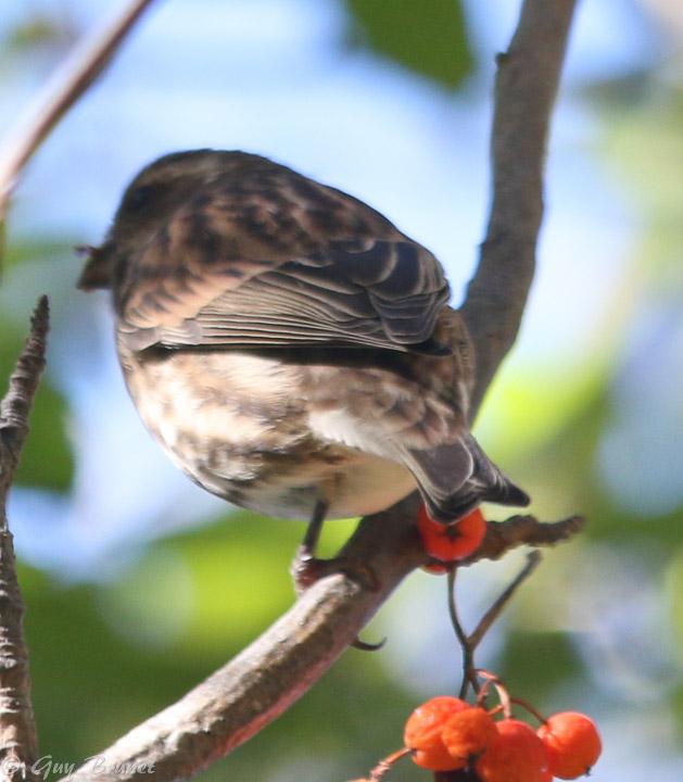 Aide pour un même oiseau (quelques photos à Montréal) Img_9513