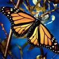 Unos datos de la famosa...Mariposa Monarca  Images10