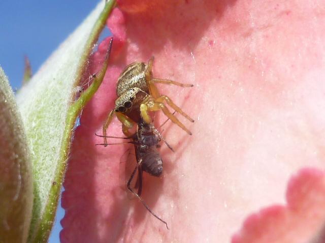 araignée sauteuse mangeant un puceron P1010010