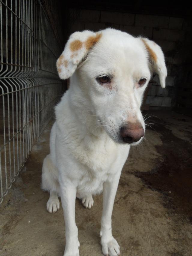TILGA - x labrador blanc 8 ans   (4 ans de refuge) - Asso Arche d'Eternité - Lenuta (Roumanie)  Dscn6130